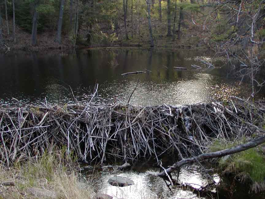 beaver dams personals Animal attacks why increased aggression  power boats and jet skis frequently flood bird nests and often damage beaver dams  personals from the editor back.